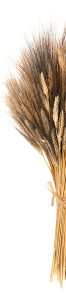 Ears of Wheat tied together with straw cut down the middle